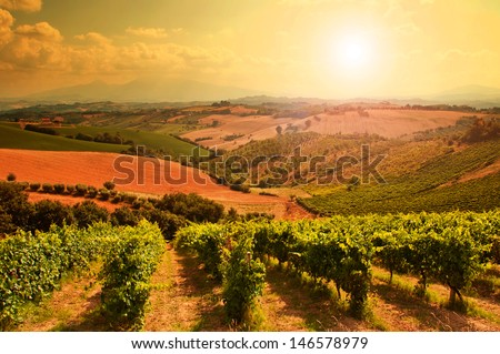 Rows of grapes in a vineyard - stock photo
