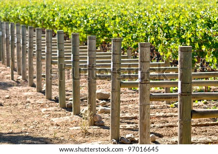 Rows of Grapes on the Vine - stock photo