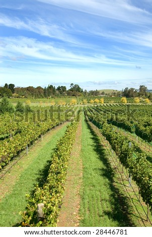 Rows of grapevines growing in a vineyard on the Southern Highlands of New South Wales, Australia