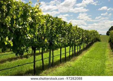 Rows of Grapevines growing in a vineyard on the Southern Highlands of New South Wales, Australia - stock photo