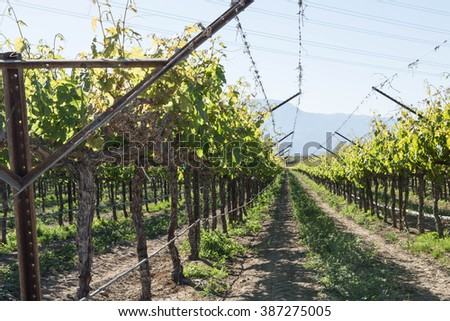Rows of grapevines growing in southern California wine country - stock photo