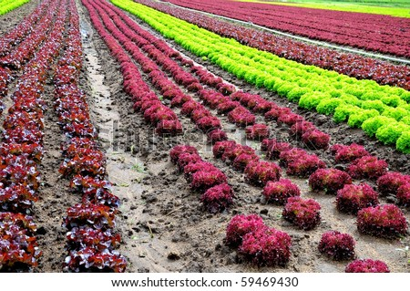 Rows of green and red lettuces