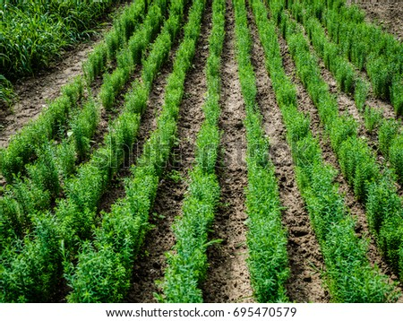 Rows of green plant vegetables on a sunny day. Homemade organic, countryside.