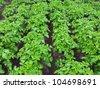rows of green potato plant in field - stock photo