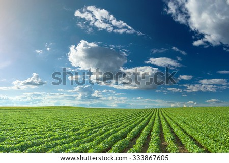 Rows of green soybeans against the blue sky. Soybean fields rows in summer season.