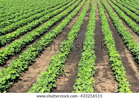 Rows of green soybeans against the blue sky. Soybean fields rows. Rows of soy plants in a cultivated farmers field - stock photo