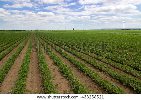 Rows of green soybeans against the blue sky. Soybean fields rows. Rows of soy plants in a cultivated farmers field