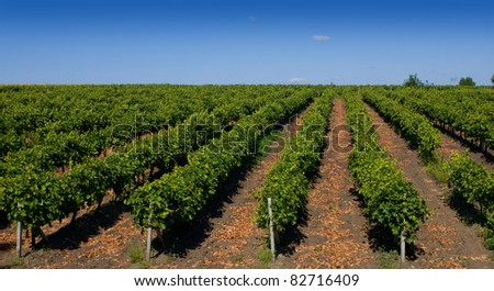 Rows of green vines in a vineyard in rural Moldova