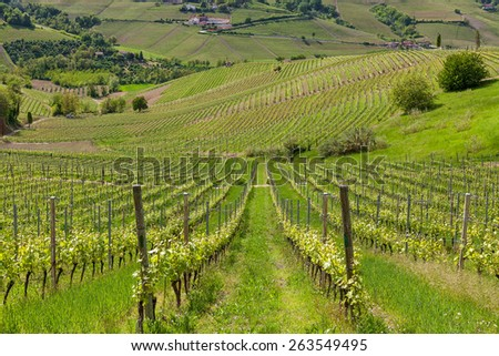 Rows of green vineyards on the hill in spring in Piedmont, Northern Italy.
