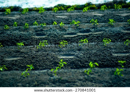 Rows of growing cereal sprouts in black soil in agricultural field - stock photo