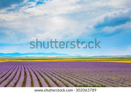 Rows of Lavender at the field and cloudy blue sky background - stock photo
