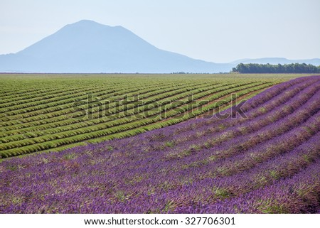 Rows of lavender blossoms and collected in the mountains of Provence