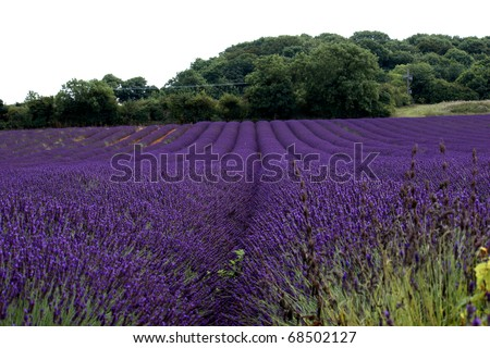 Rows of lavender in bloom in a field - stock photo