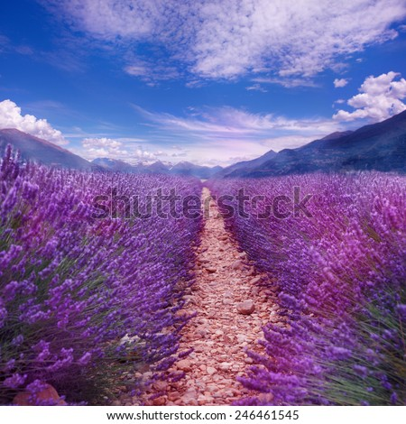 Rows of lavender in blossom under blue sky, with mountains range in the background - stock photo