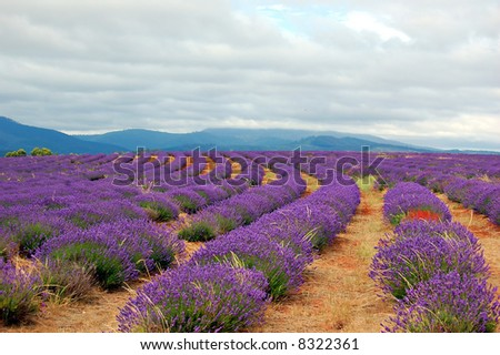 rows of lavenders in a field with mountains in the background - stock photo