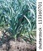 Rows of leek plants growing in soil. - stock photo