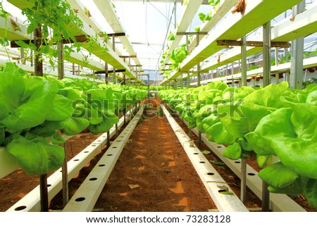 Rows of Lettuce - stock photo