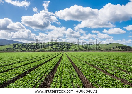 "Rows of lettuce crops with background foothills in the fields of Salinas Valley of central California. This area is a hub of agriculture industry and is known as the ""salad bowl"" of the world. - stock photo"