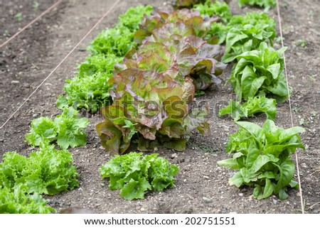 Rows of lettuce in a vegetable garden. - stock photo