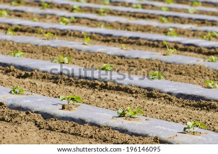Rows of melon plants at a truck farm with clear plastic cover for heat retention and weed control - stock photo