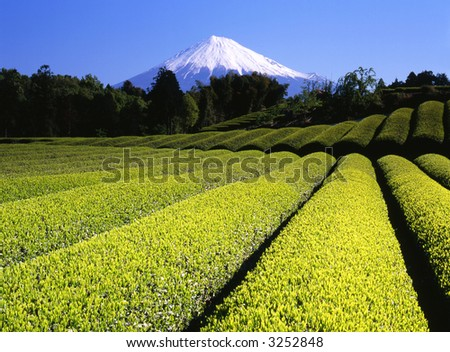 Rows of new green tea in Spring with beautiful Mount Fuji in the background - stock photo