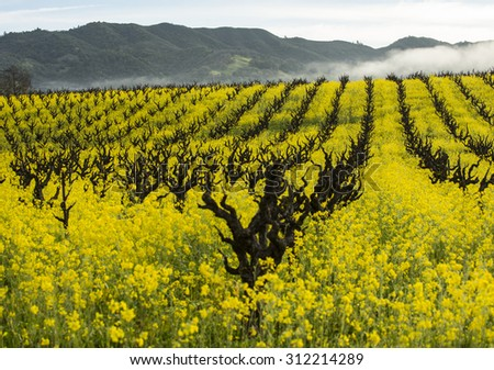 Rows of old fashioned organic grape vines for wine production with yellow mustard cover crop providing soil nutrition, California wine country.  - stock photo
