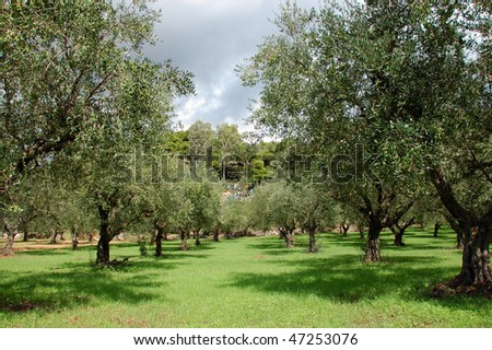 Rows of olive trees in the country. - stock photo