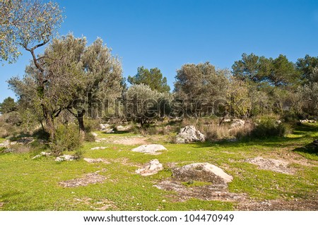 Rows of olive trees in the country. Spring. Israel. - stock photo