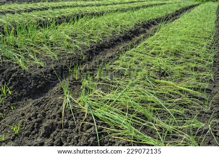 Rows of onion plots in a vegetable farm - stock photo