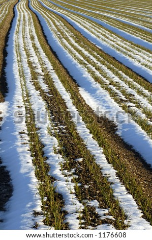 Rows of onions in a field after a fall of snow. The rows of onions, interspersed with lines of snow and shadow make a striking and fluid visual pattern. - stock photo
