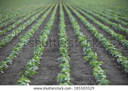 Rows of pea plant seedlings on a farm in late afternoon light with shallow depth of field.  - stock photo