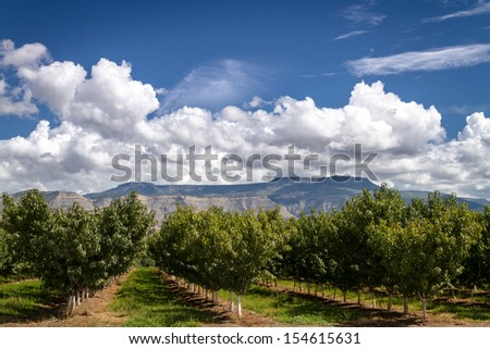 Rows of peach trees in Palisades Colorado orchard on sunny afternoon - stock photo