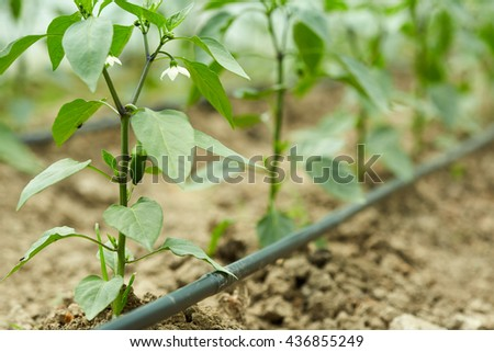 Rows of pepper seedlings in a greenhouse - stock photo