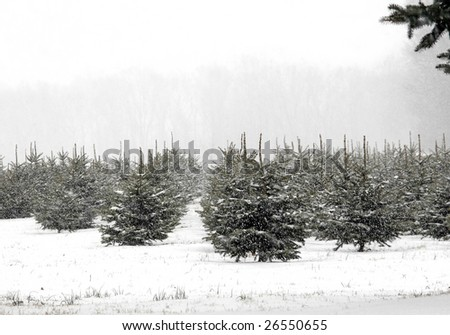 rows of pine trees on a farm during a heavy snowfall.