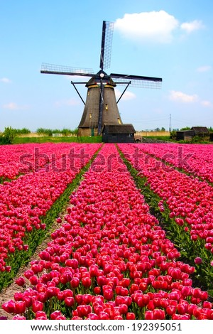 Rows of pink tulips with Dutch windmill in the background - stock photo
