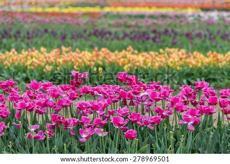 Rows of pink, yellow and purple tulips - stock photo