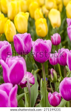 Rows of pink, yellow and red tulips in tulip field on flower bulb farm - stock photo