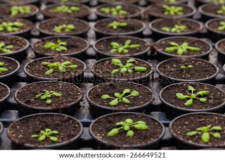 Rows of Potted Seedlings and Young Plants in Greenhouse - stock photo