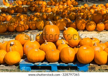 rows of pumpkins - stock photo