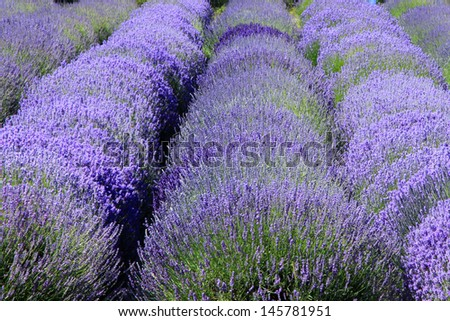 Rows of purple lavender flowers. - stock photo
