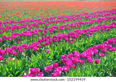 Rows of purple tulips with field of orange in the background - stock photo