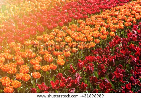 Rows of red and orange beautiful dutch tulip in sunlight, nature flower background, suitable for card, Keukenhof, Netherlands