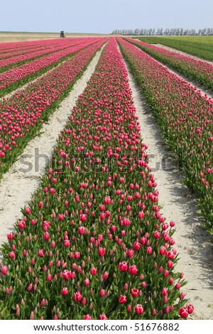 rows of red and white tulips - stock photo