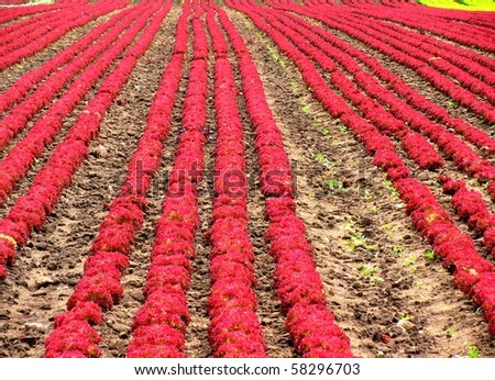 Rows of red salad