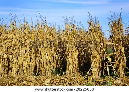 Rows of ripe maize before harvest - stock photo