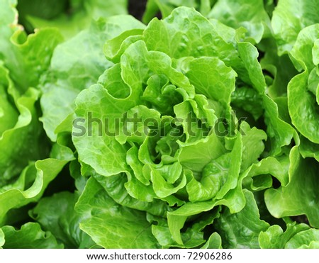 Rows of salad on an agriculture field - stock photo