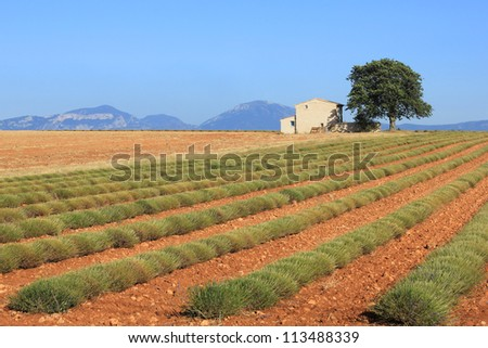 Rows of scented flowers in the lavender fields after harvest of the French Provence near Valensole - stock photo