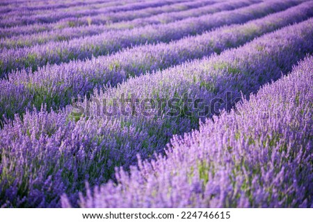 Rows of scented lavender in a field. - stock photo