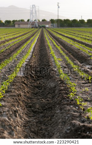 Rows of seedlings, farmland with tractor in the distance - stock photo