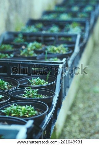 Rows of seedlings in a greenhouse - stock photo